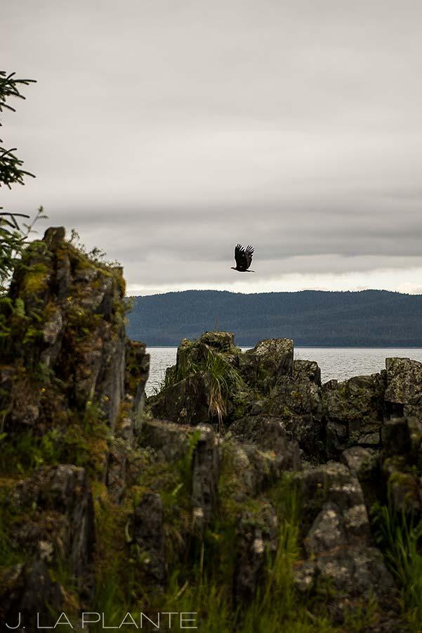 bald eagle near juneau