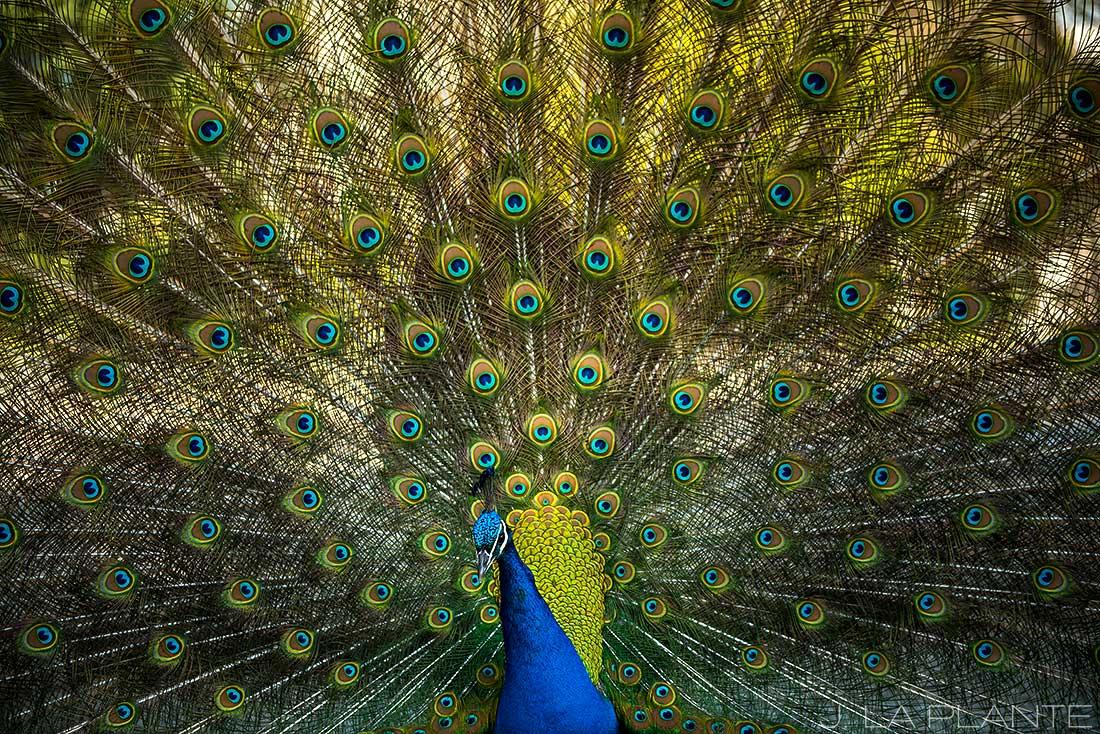 peacock in porto portugal