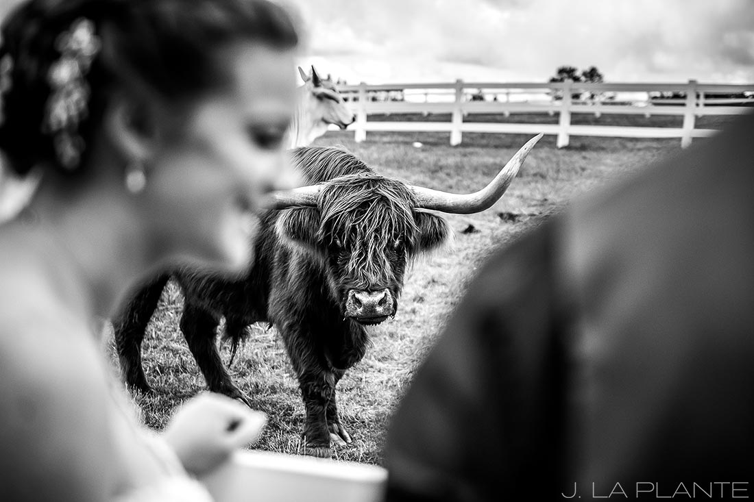 Crooked Willow Farms Wedding   Bride with cows   Colorado Wedding Photographer   J La Plante Photo